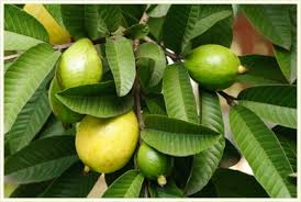 download guava leaves