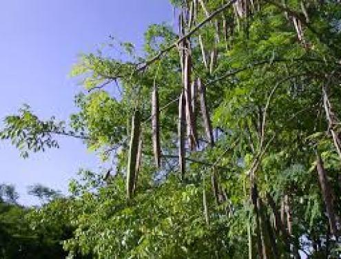 download moringa tree