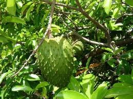 Soursop tree in the tropical sun