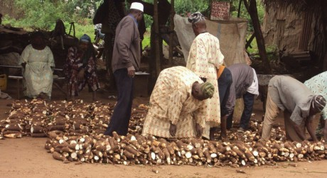 Fresh Cssava tubers to be processed into Garri -n Oyo town